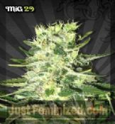 Auto Mig 29 Cannabis Seeds for Sale UK Worldwide Delivery